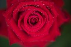 Rojo color de rosa y gotas Imagen de archivo libre de regalías