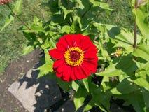 Rojo con la flor de centro amarilla Imagen de archivo libre de regalías