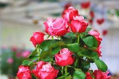 Rojo con las rosas rosadas Fotos de archivo