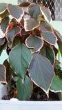 Rojo de Acalifa Imagen de archivo