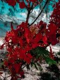 Rojo de la buganvilla en Vietnam en verano fotografía de archivo libre de regalías