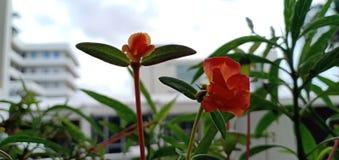 rojo de la flor de la amapola imagen de archivo libre de regalías
