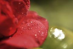 Rojo de la flor de la camelia Imágenes de archivo libres de regalías