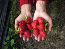 Rojo de la fresa en la mano de la muchacha Foto de archivo libre de regalías