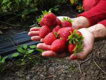Rojo de la fresa en la mano de la muchacha Fotografía de archivo libre de regalías