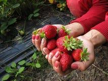 Rojo de la fresa en la mano de la muchacha Imagenes de archivo