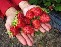 Rojo de la fresa en la mano de la muchacha Imágenes de archivo libres de regalías