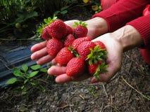 Rojo de la fresa en la mano de la muchacha Foto de archivo