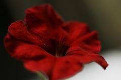 Rojo de la petunia de la flor Fotografía de archivo