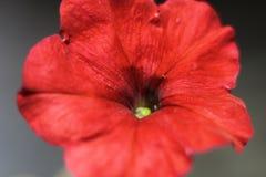 Rojo de la petunia de la flor Foto de archivo
