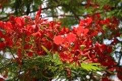 rojo de la planta del árbol de la flor del pulcherrima del caesalpinia Foto de archivo