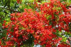 rojo de la planta del árbol de la flor del pulcherrima del caesalpinia Foto de archivo libre de regalías