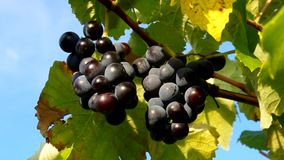 Rojo de la uva almacen de video