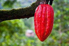 Rojo de la vaina del cacao imagen de archivo