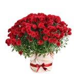 Rojo de Pablo del crisantemo Foto de archivo