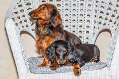 Rojo de pelo largo del perro basset y negro estándar y moreno - perro de caza Imagen de archivo