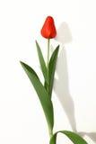 Rojo de Tulipan Foto de archivo libre de regalías