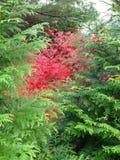 Rojo del arce japonés visto a través de árboles de hoja perenne Imágenes de archivo libres de regalías
