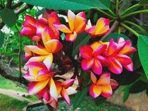Rojo del Frangipani de la flor y anaranjado brillantes foto de archivo