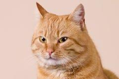 Rojo del gato fotografía de archivo