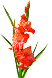 Rojo del gladiolo en un fondo blanco Fotos de archivo