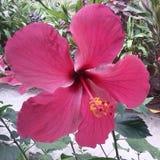Rojo del hibisco Fotos de archivo