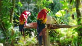 Rojo del Macaw en México imagen de archivo libre de regalías