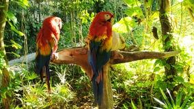 Rojo del Macaw en México foto de archivo