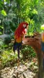 Rojo del Macaw en México foto de archivo libre de regalías