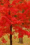 Rojo del otoño Imagenes de archivo