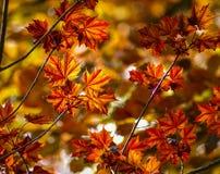 Rojo del otoño y hojas de arce del oro Fotografía de archivo libre de regalías