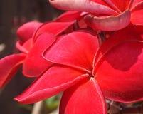 Rojo del Plumeria Imagen de archivo libre de regalías