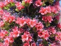 Rojo del Teide di Tajinaste immagini stock libere da diritti