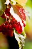 Rojo del Viburnum Foto de archivo