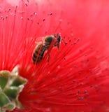 Rojo delicado puro de la abeja de Bloosoming Imagen de archivo libre de regalías