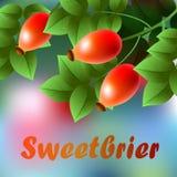 Rojo, ejecución más sweetbrier de los ripes en una rama con las hojas verdes Foto de archivo libre de regalías