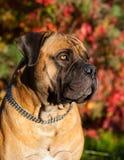 Rojo en rojo El retrato del primer de una raza rara Boerboel surafricano del perro en el fondo de la uva del otoño se va Imagen de archivo