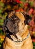 Rojo en rojo El retrato del primer de una raza rara Boerboel surafricano del perro en el fondo de la uva del otoño se va Foto de archivo libre de regalías