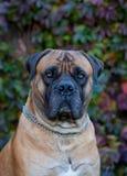 Rojo en rojo El retrato del primer de una raza rara Boerboel surafricano del perro en el fondo de la uva del otoño se va Fotos de archivo libres de regalías