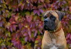 Rojo en rojo El retrato del primer de una raza rara Boerboel surafricano del perro en el fondo de la uva del otoño se va Fotos de archivo