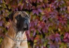 Rojo en rojo El retrato del primer de una raza rara Boerboel surafricano del perro en el fondo de la uva del otoño se va Fotografía de archivo libre de regalías