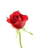 Rojo escoja la flor color de rosa en el fondo blanco Fotos de archivo libres de regalías