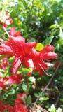 Rojo floreciente Fotografía de archivo libre de regalías