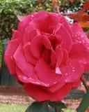 Rojo hermoso Foto de archivo