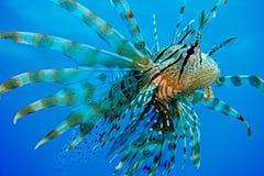 Rojo Lion Fish del bebé Imagen de archivo