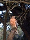 Rojo-llevó a hombros el halcón. foto de archivo