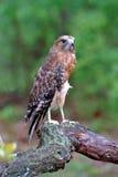 Rojo-llevó a hombros el halcón Imagen de archivo