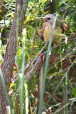 Rojo-llevó a hombros el halcón (el lineatus del Buteo) Fotos de archivo libres de regalías