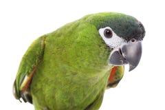 Rojo-llevó a hombros el Macaw Fotografía de archivo