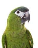 Rojo-llevó a hombros el Macaw Imagen de archivo